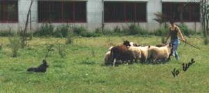 Australian Cattle dog beim H�ten
