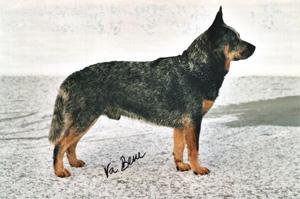 ACD als Lawinensuchhund