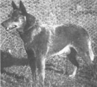 Ch. Wooleston Blue Jack
