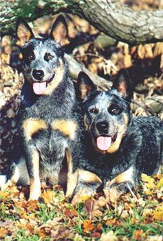 Zwei Australian Cattle Dogs