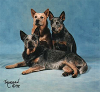 Cattle Dogs